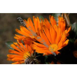 Narancsvirágok vászonkép